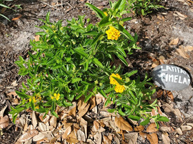 Single Lantana Pineland plant, March 20,