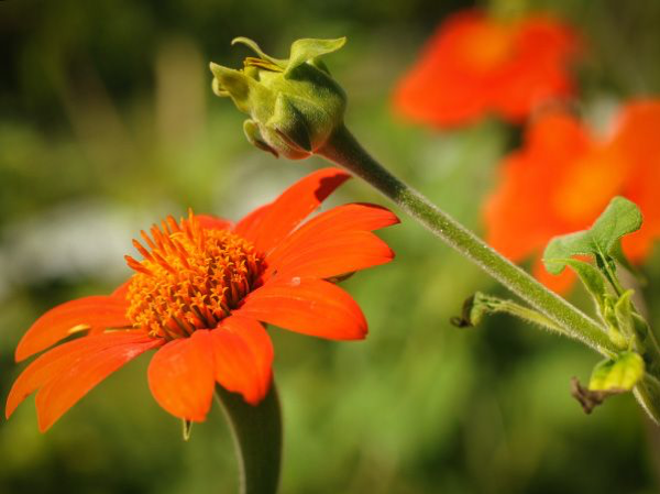 Red Torch Mexican Sunflower