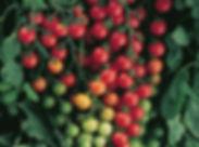 Image Supersweet 100 tomato.jpg