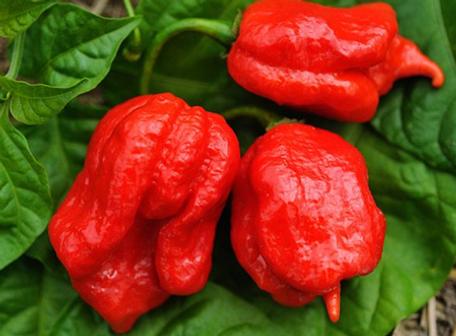 Trinidad Scorpion Pepper.png