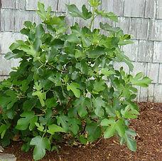 Brown Turkey Fig.jpg