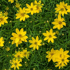Thread Leaf Coreopsis