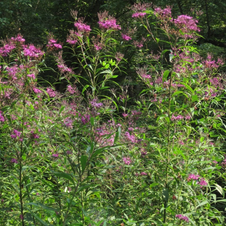 Ironweed Gigantea