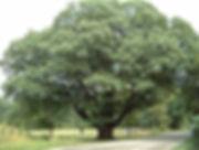 Laurel Oak.jpg