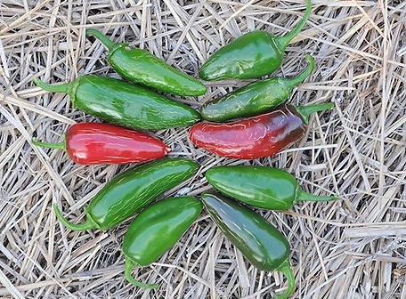 Tam-Jalapeno-Pepper-_2_.jpg