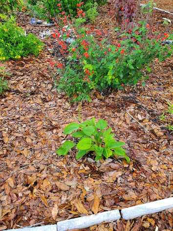 Tropical Sage, April 21, 2020 - with enc