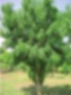 Neem-Azadirachta-indica-A-Juss-approxima