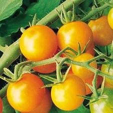 Image Sungold tomato.jpg