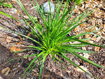 Single Blazing Stars plant, March 20, 20