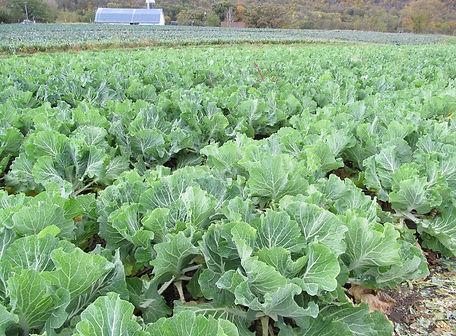 Portuguese Kale .jpg