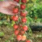 Image Sunpeach tomato.jpg