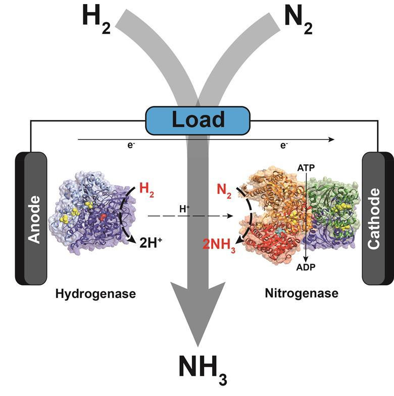 Biological fuel cell could power cleaner ammonia production - Read More from Chemistry World