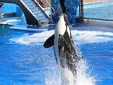seaworld orca
