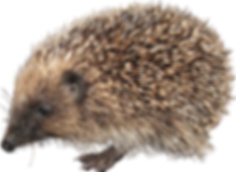 hedgehog_PNG4.png