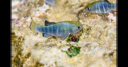 Ash Meadows Amargosa Pupfish_Ryan Hagert