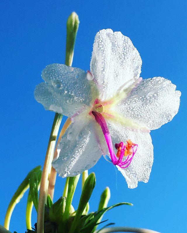 #whitemountainflowers #morningbloomers #arizona #whiteriver #whiteflowers