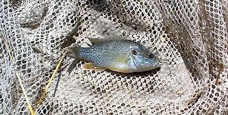 pupfish predator green sunfish_edited.jp