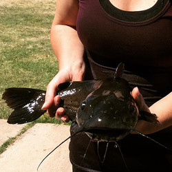 Huge Headwater catfish from Balmorhea State Park.jpg This species can only be found in a few  stream