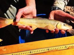 Adult Flannelmouth sucker #littlecoloradoriver #aznatives #septembertravels #welovenativefishes