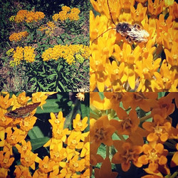 #happypollinatorweek #plantmilkweed #arizonaflowers #prettylittlethings #honeybee