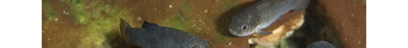 3 Devils Hole Pupfish.png