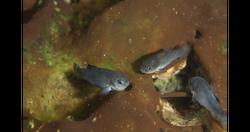 3 Devils Hole Pupfish