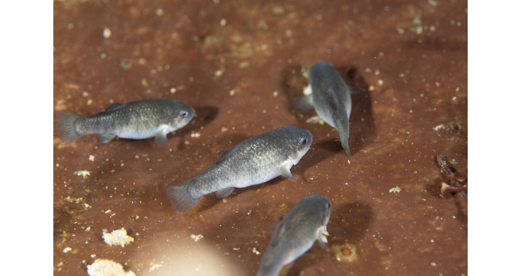 Group of Devils Hole Pupfish_Ryan Hagert