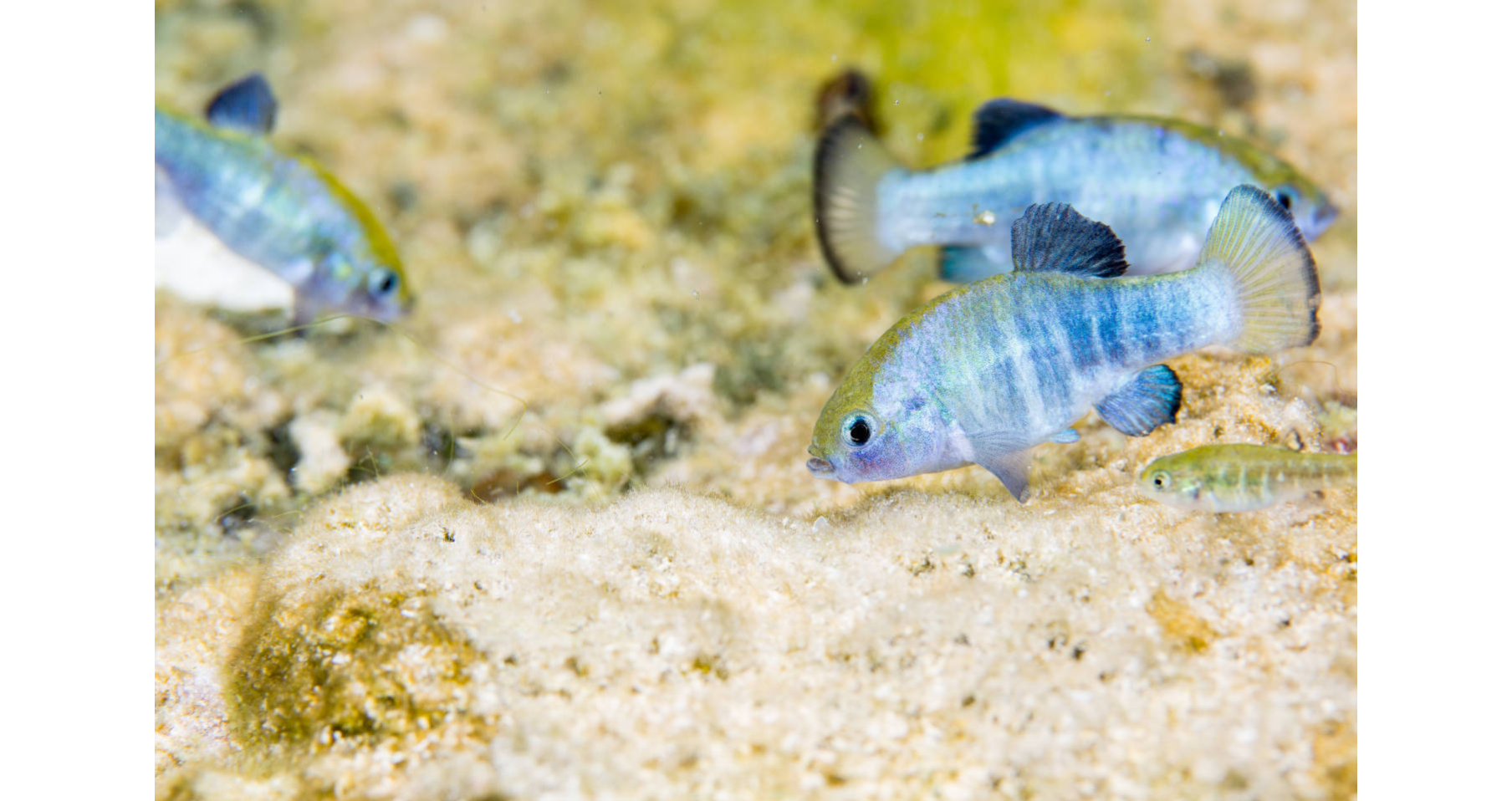 Ash Meadows Amargosa Pupfish_2_Ryan Hage