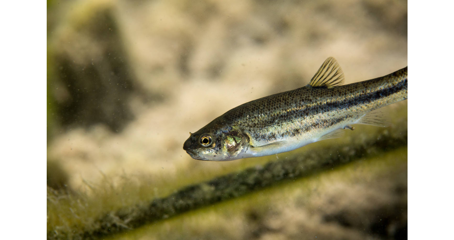 Ash Meadows Speckled Dace_USFWS