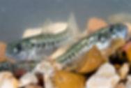Pecos Pupfish.jpg