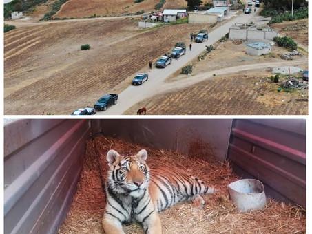 Rescata SSP de Hidalgo ejemplar de tigre en Cuautepec