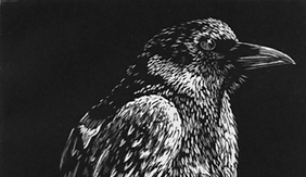 wood engraving of majestic crow