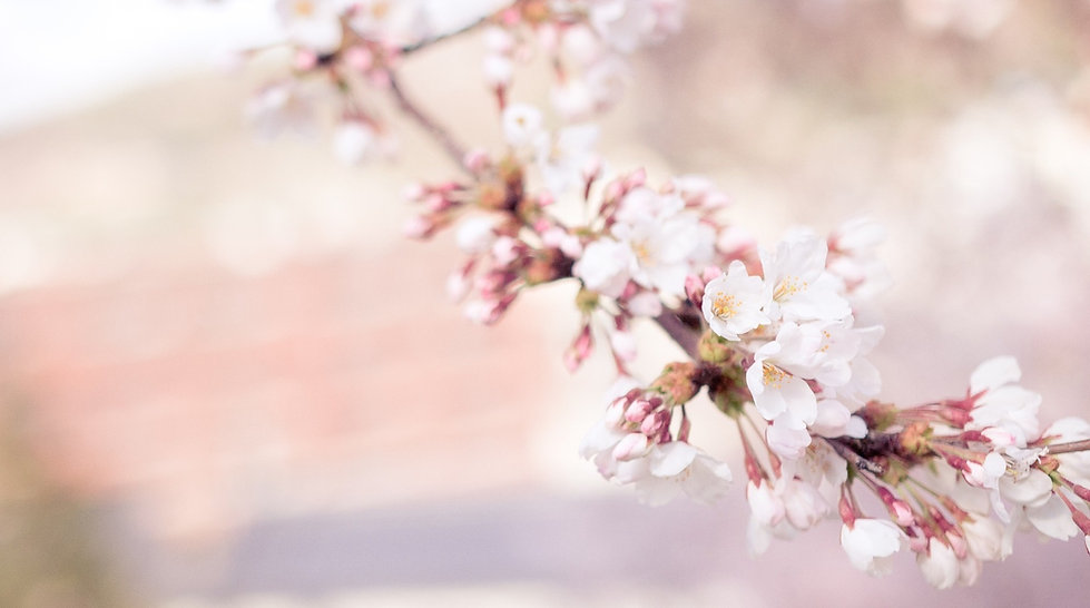 cherry-blossom-1209933_1920.jpg