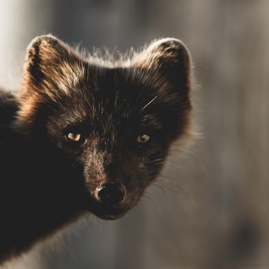 Artic fox.jpg