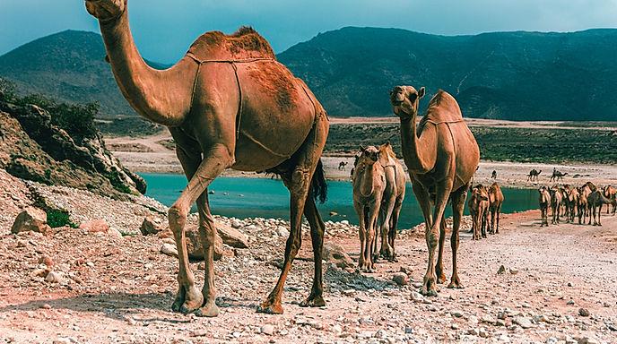Cammelli nell'oasi del deseto