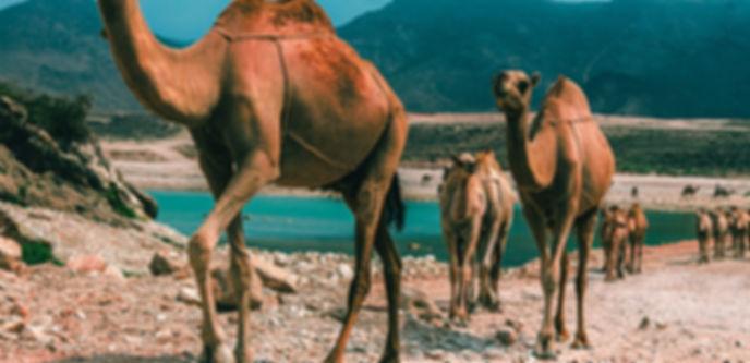 Camelli nell'oasi del deserto
