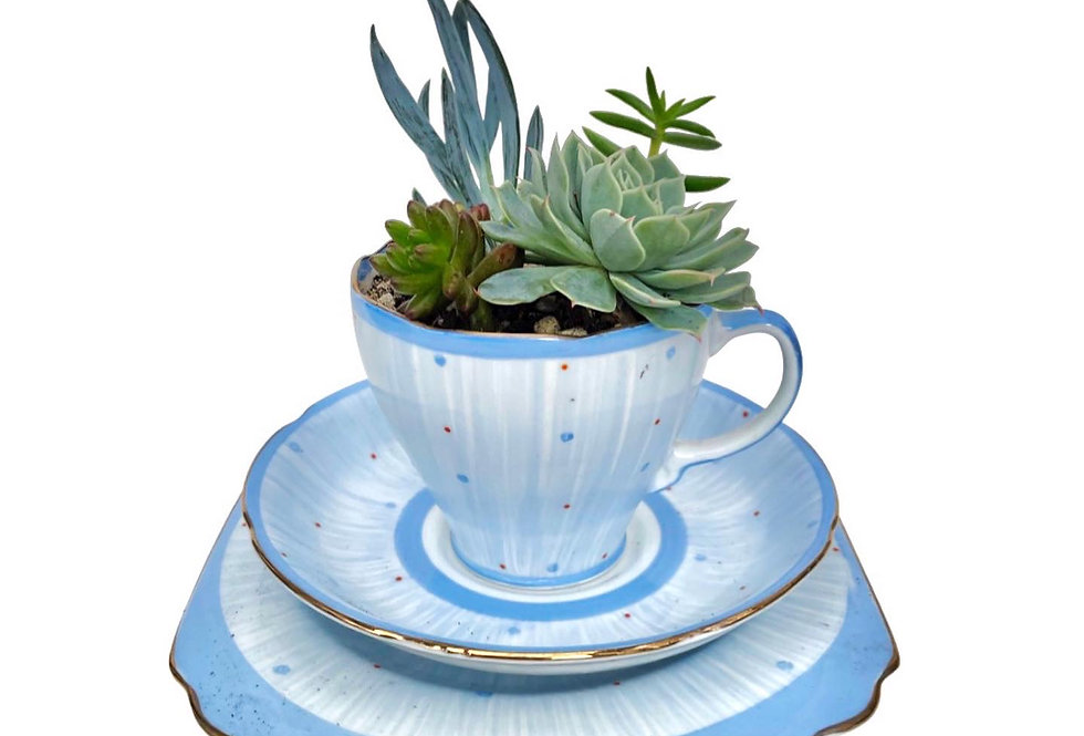 A beautiful blue vintage teacup trio filled with a selection of succulents