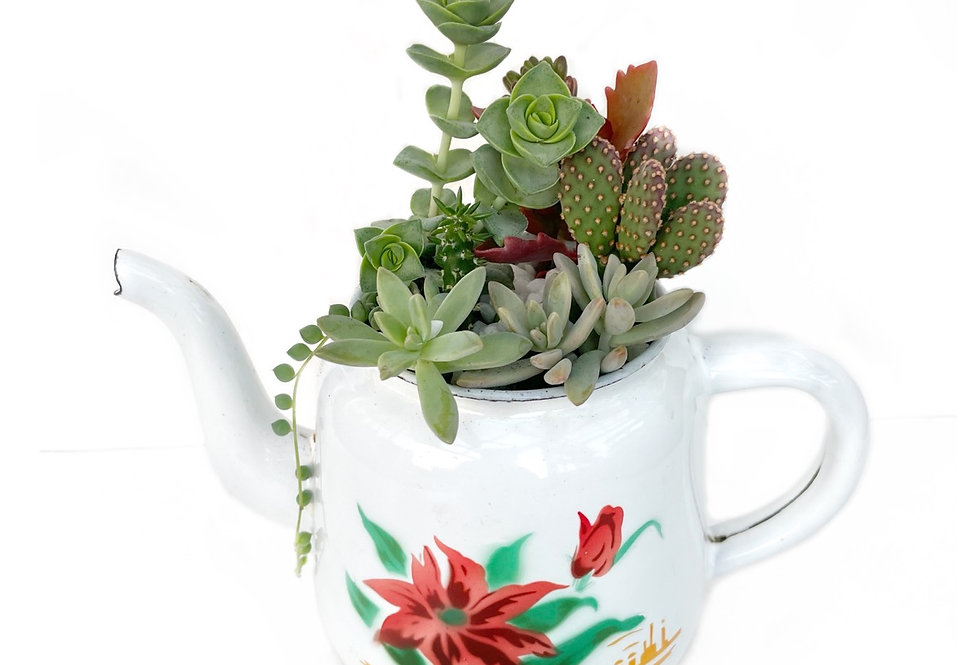 A beautiful white enamel vintage teapot full with colourful succulents