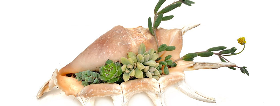 A beautiful real spider shell filled with colourful succulents