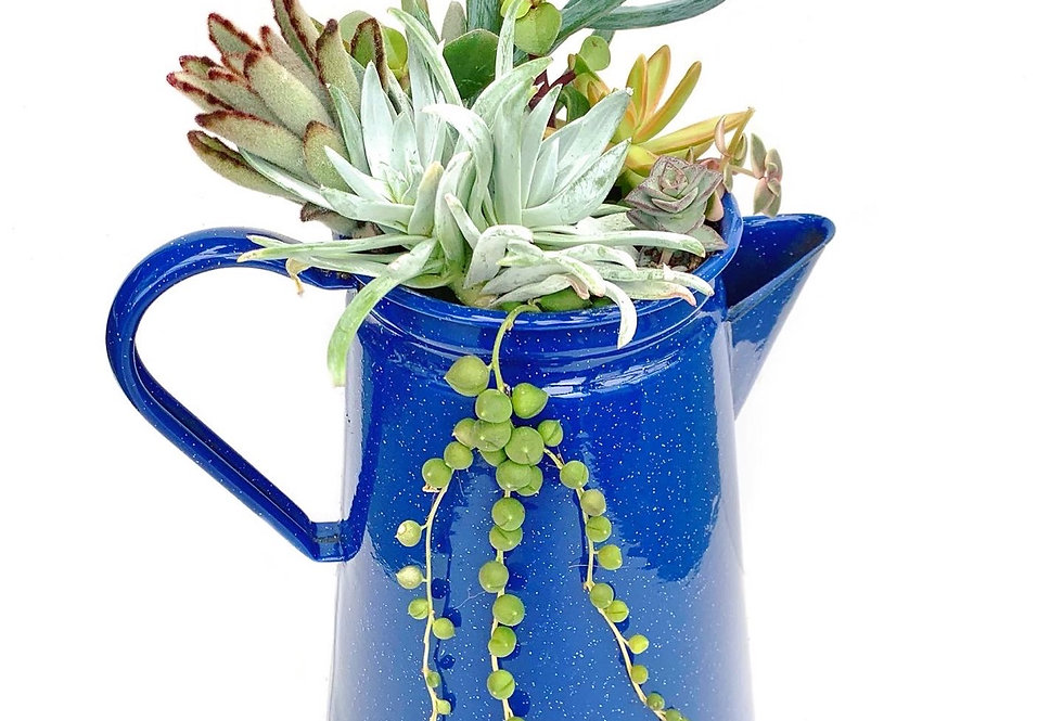 A lovely large blue enamel jug filled with colourful succulents