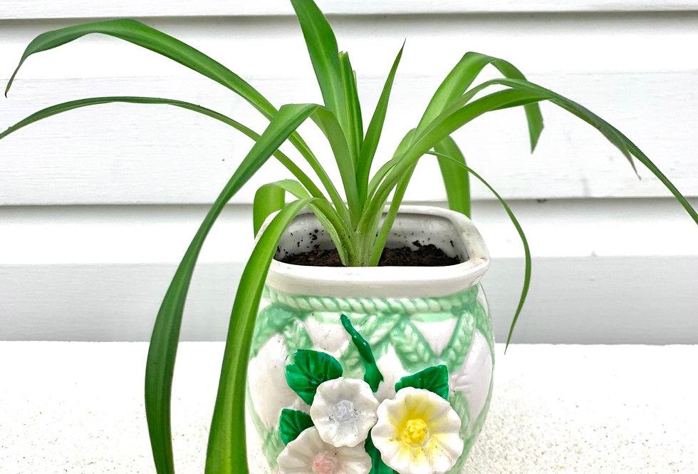 Hawaiian Spider plant in basket style vase