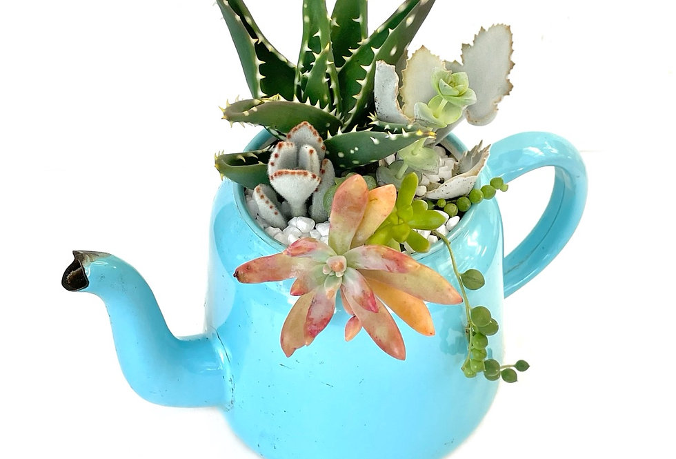 A beautiful baby blue enamel teapot filled with colourful succulents