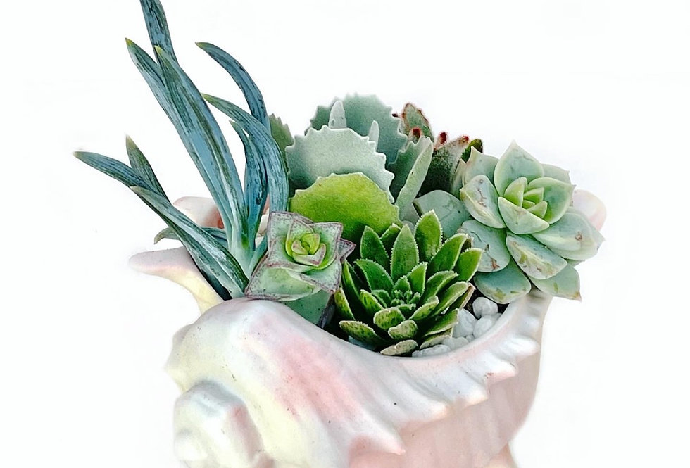 A gorgeous vintage porcelain shell vase filled with colourful succulents