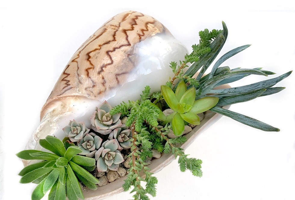 Stunning real Conch sea shell filled with succulents