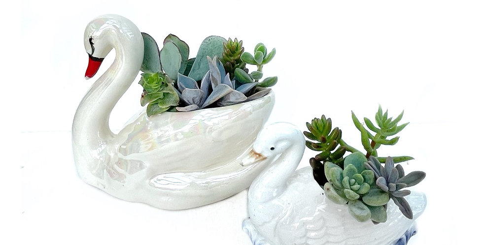 A lovely small vintage swan vase filled with colourful succulents