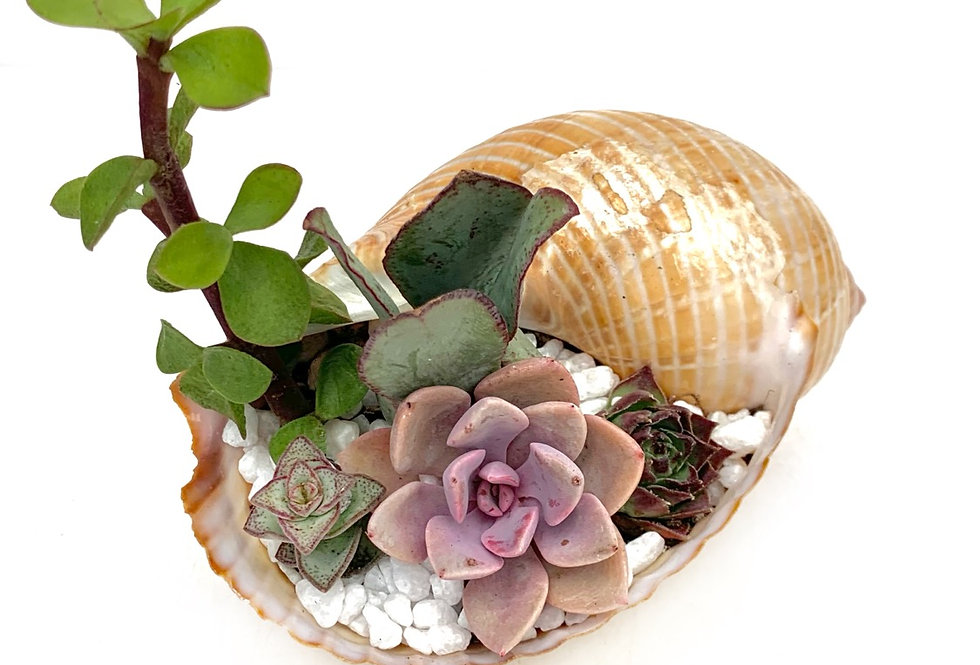 A gorgeous real shell filled with colourful succulents