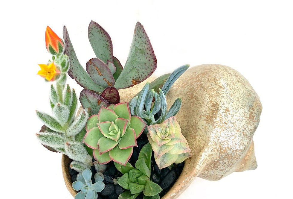 A lovely mottled gold pottery shell filled with colourful succulents