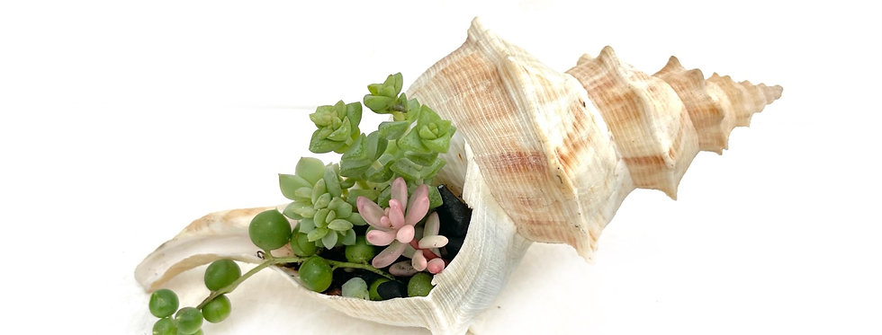 A pretty real shell filled with colourful succulents