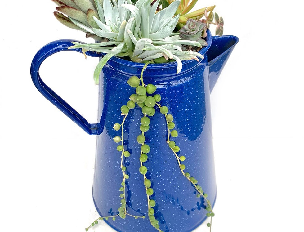 A very large blue enamel coffee pot filled with colourful succulents