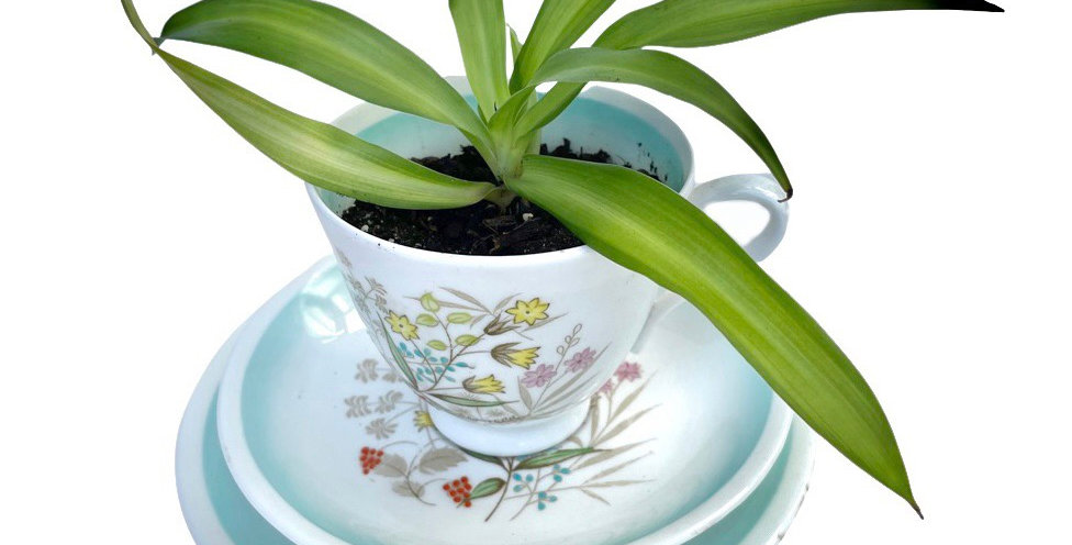 A preety vintage teacup trio filled with a Hawaiian spider plant